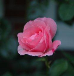 rosa_rose.jpg