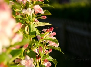 Strauch mit rosa Blüten
