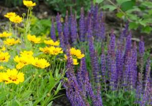 gelbes Mädchenauge und lila Salbei im Gartenbeet