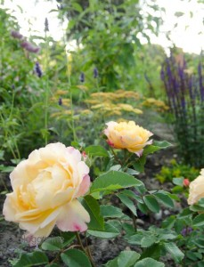 Gelbe Scharfgarbe, Salbei in lila, Rose in gelb