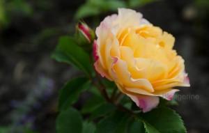 wunderschöne gelbe Rose
