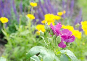 Garten lila und gelb Rose Mädchenauge Salbei