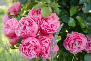 englische Strauchrose english rose