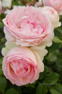 Romantische Rose romantic rose