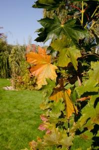 Ahorn, Altweibersommer, Herbstlaub, Herbstblätter