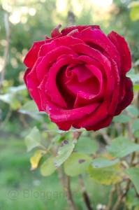 Herbst, Rose, Garten, Altweibersommer, Hagebutte