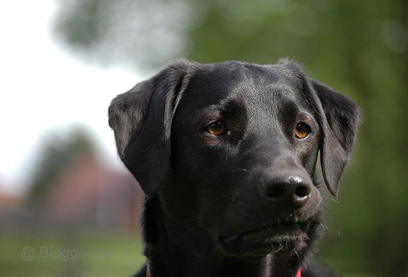 Luna, Hund, Labrador, Münsterländer, Pointer