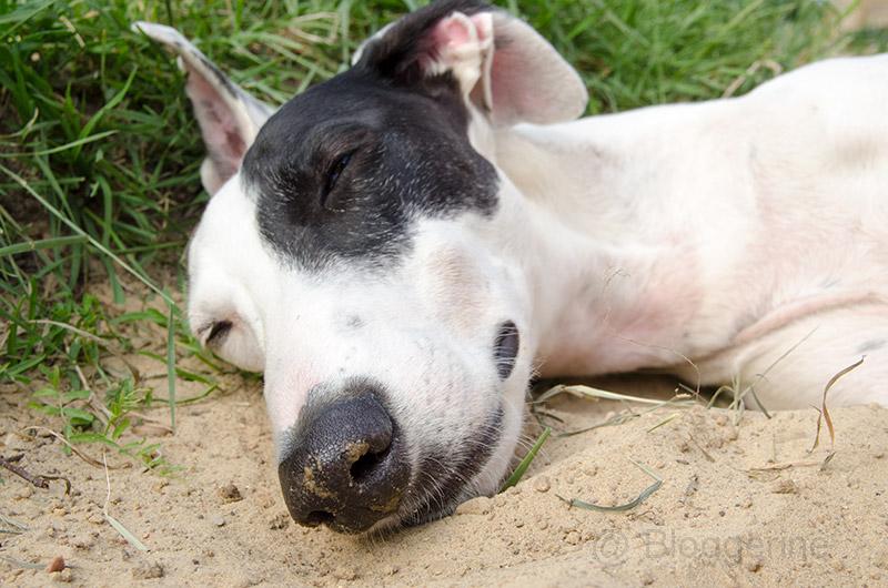 Galgo, Galgo espanol, Galgo Español, spanischer Windhund, Sichthund, Hund