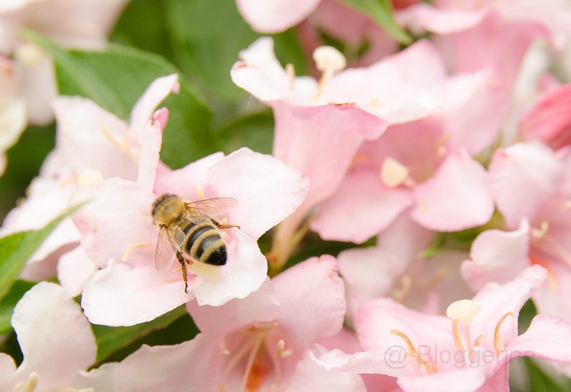 Biene, Bienen, Blüte, rosa Blüte, Sommer, Bienensterben, Honig, Garten