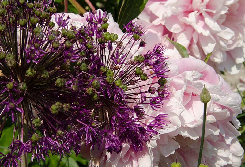 Rosen, Kletterrosen, englische Rosen, Pfingstrosen, pink, gelb, weiß, rosa, Kletterose, Ramblerrose, lila, Dauerblüher, Garten