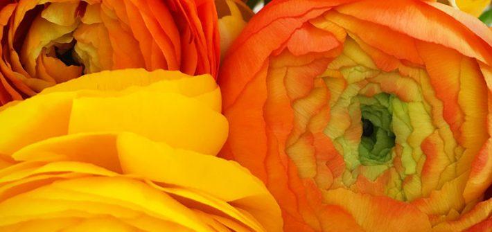 Blumen, Rosen, Ranunkel, Hochzeit, Spruch, Ehe, Liebe, Petersilienhochzeit, Hochzeitstag