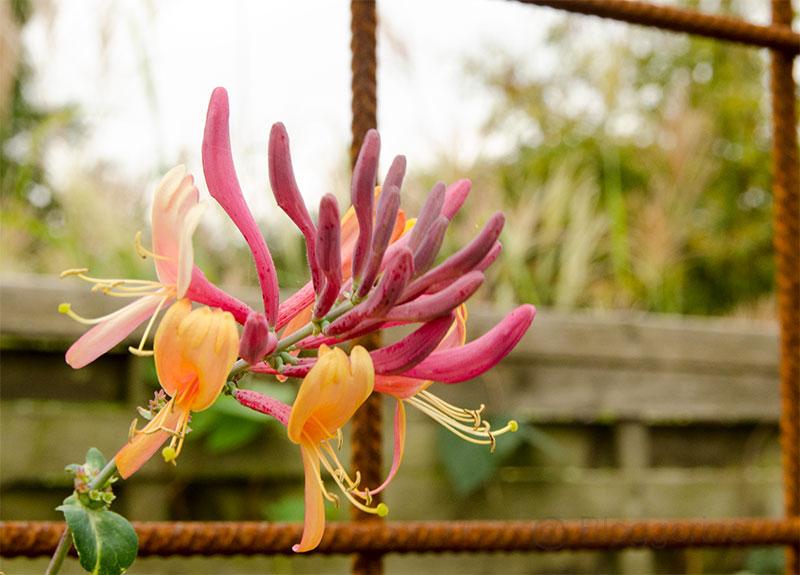Garten, Herbst, Herbstgarten, Blumen, blühen, echtes Geißblatt, Kletterpflanze, Jelängerjelieber