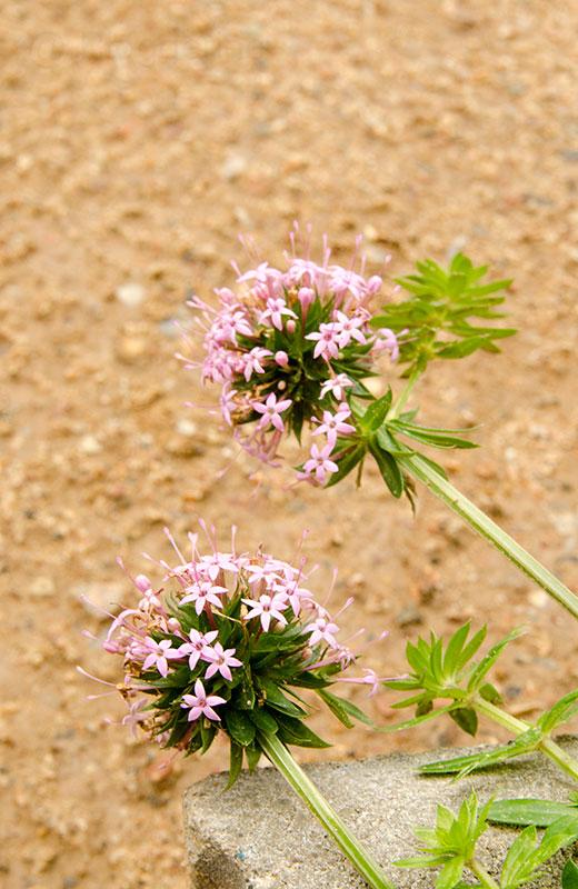 Garten, Herbst, Herbstgarten, Blumen, blühen, Scheinwaldmeister, Rosenwaldmeister, Bodendecker, rosa Blüte