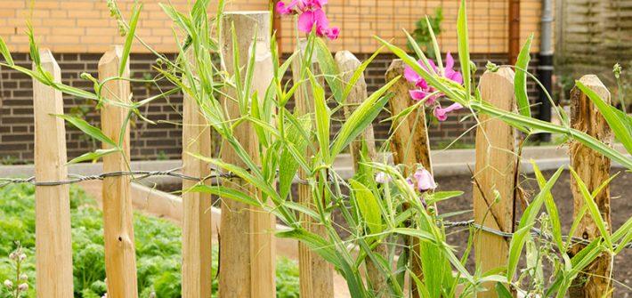 Gemüsegarten, Gartenbeete, Garten, Beet, Gründungung, Fruchtfolge, Phacelia, Bienenfreund, Selbstversorger, Gärtner