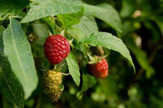 Himbeeren, Himbeerpflanze, Obst, Gemüsegarten, Naschgarten, selber anbauen, ernten, HImbeerernte, Joghurt