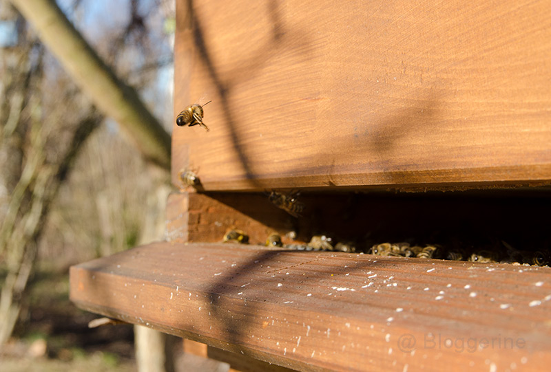Bienen, Bienenhaltung, Hobbyimker, Frühling, Blüten, erster Flug
