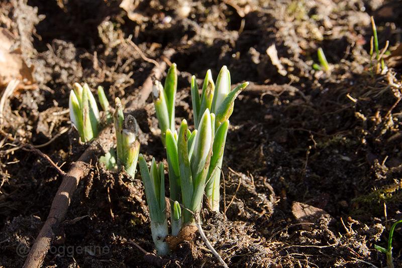 Bienen, Bienenhaltung, Hobbyimker, Frühling, Blüten, erster Flug, Schneeglöckchen, Frühjahrsblüher