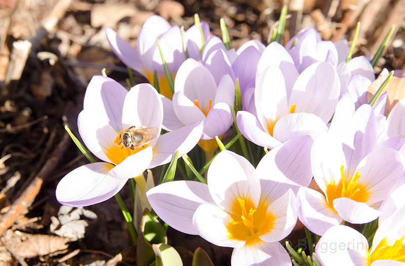 Bienen, Bienenhaltung, Hobbyimker, Frühling, Blüten, erster Flug, Krokus, Frühjahrsblüher