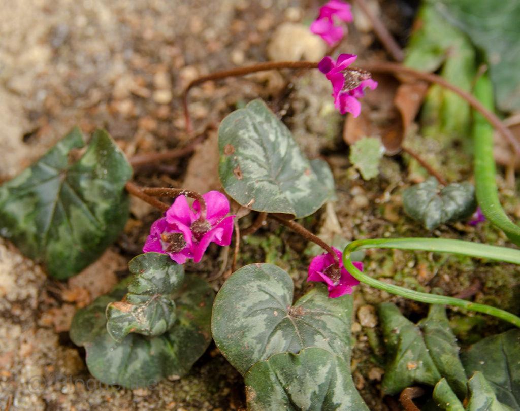 Frühling, Frühjahr, Frühlingsblüher, Blumenzwiebeln, Garten, Blume, Alpenveilchen