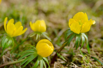 Frühling, Frühjahr, Frühlingsblüher, Blumenzwiebeln, Garten, Blume, Winterling