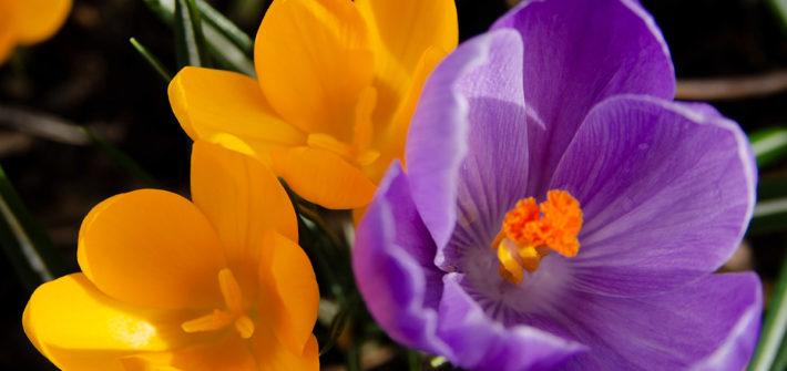 Frühling, Frühjahr, Frühlingsblüher, Blumenzwiebeln, Garten, Blume, Krokus, Krokusse