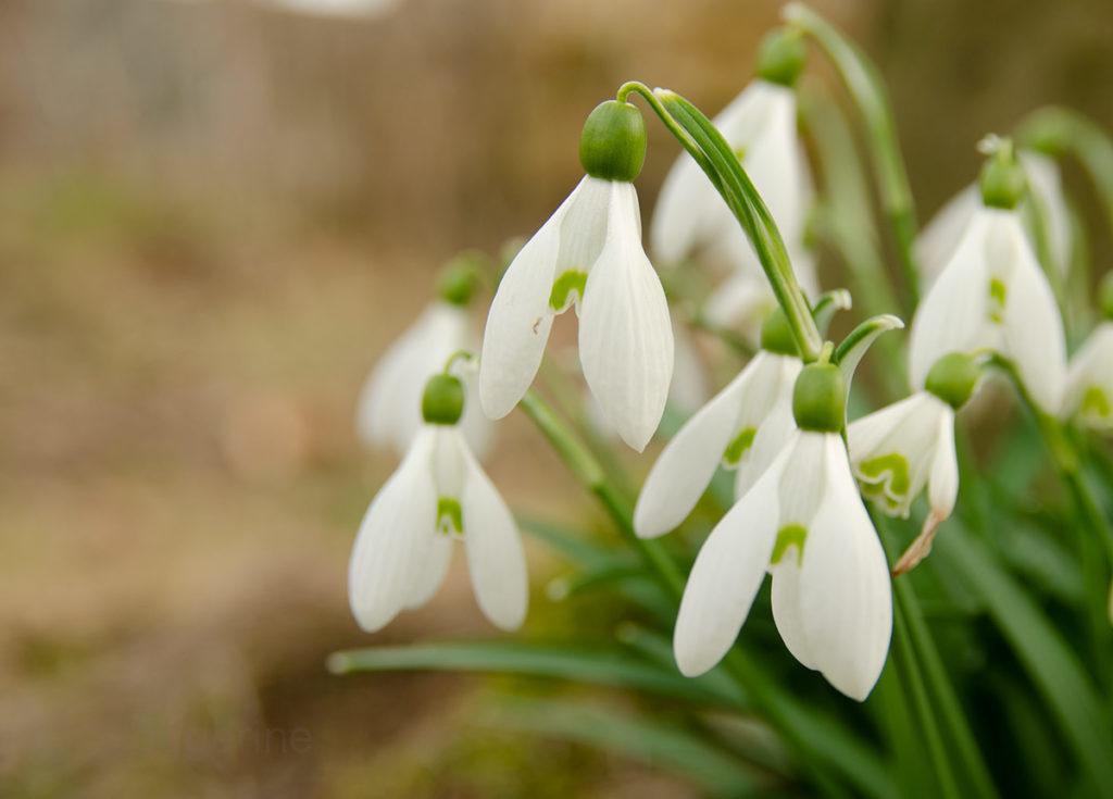 Frühling, Frühjahr, Frühlingsblüher, Blumenzwiebeln, Garten, Blume, Schneeglöckchen