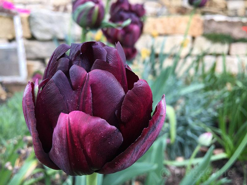 Tulpen, deep purple rock, Frühlingsblüher, gelb, rot, Blume, Garten, Beet