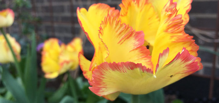 Tulpen, Frühlingsblüher, gelb, rot, Blume, Garten, Beet