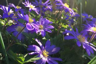 Garten, Frühling, Anemone, lila, Abendsonne, Frühlingsblüher, Blume