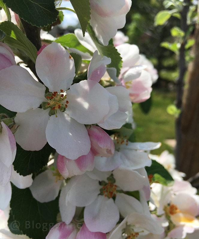 Garten, Gemüsegarten, Selbstversorger,Apfel, Apfelblühte, James Grieves