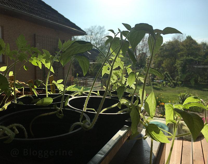 Garten, Gemüsegarten, Selbstversorger, Anzucht, Jungpflanze, Tomate