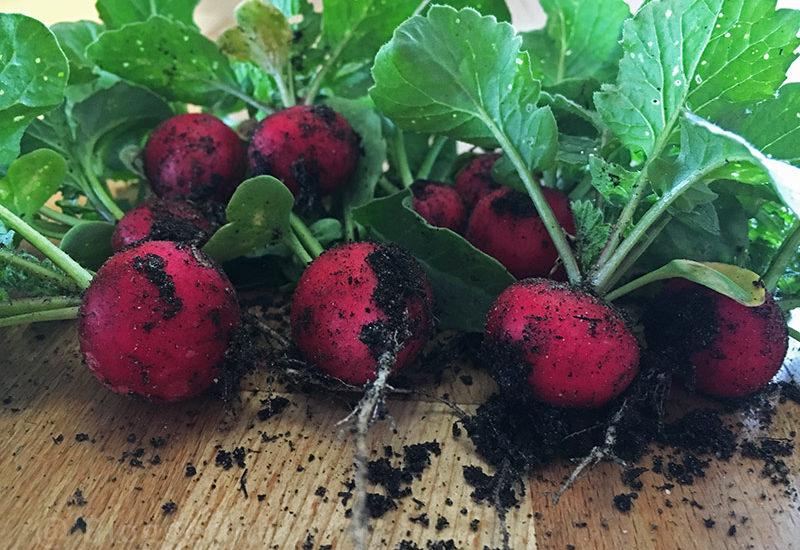 Garten, Gemüsegarten, Selbstversorger, Radieschen, Mittelzehrer, Anbau