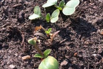 Gemüsegarten, Garten, Selbstversorger, Gemüse, Frühjahr, Fruchwechsel, Samen, ansäen, Radieschen, rudi