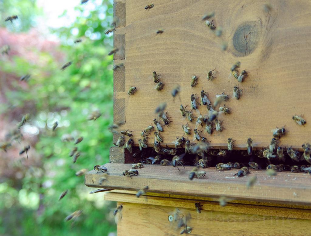Biene, der Bien, Drohne, Hochzeitsflug, Dadant, Bienenbeute