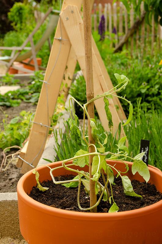 Tomaten, Tomaten selber ziehen, Anzucht, alte Sorte, Freilandtomate, Biosaatgut, Wildtomate, Gemüsegarten, Selbstversorger