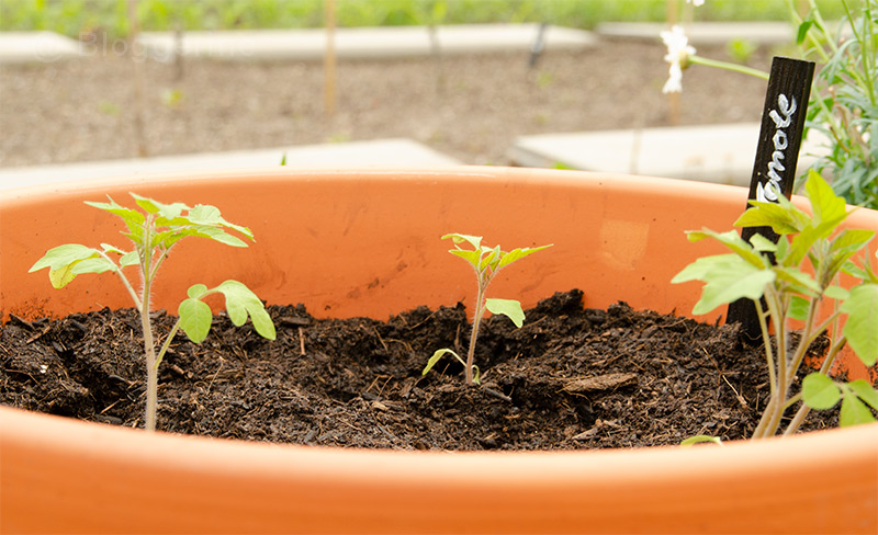 Tomaten, Tomaten selber ziehen, Anzucht, alte Sorte, Freilandtomate, Golden Currant, Biosaatgut, Wildtomate, Gemüsegarten, Selbstversorger