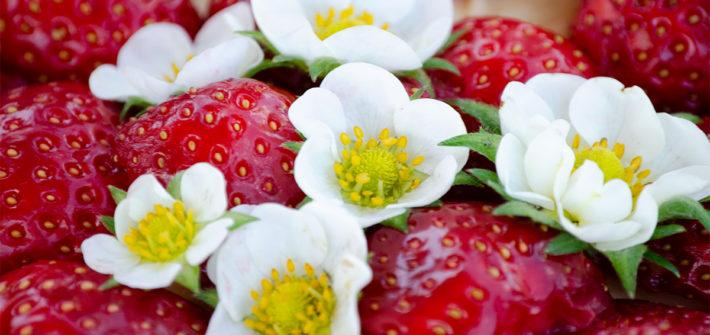 Erdbeerkuchen, essbare Blüten, Erdbeerblüte, backen, einfaches Rezept, Backrezept