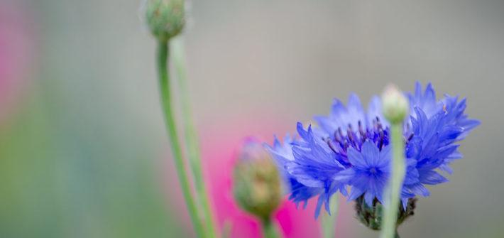 Garten, Blumen, schöner Garten, Gemüsegarten, Kornblume, essbare Blüten