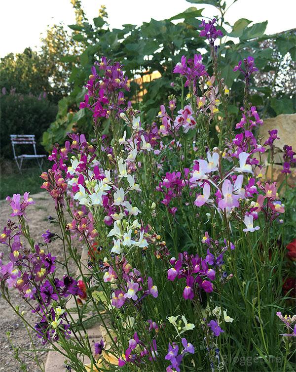 Garten, Blumen, Bauernorchideen, pink, weiß, Bauerngarten, Blumensaat
