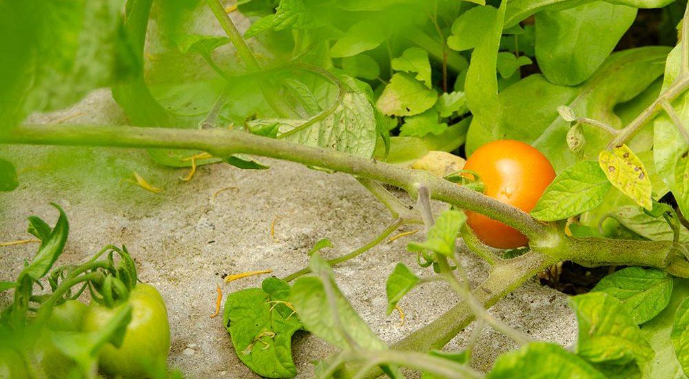 Gemüsegarten, Gemüse, Fruchfolge, Selbstversorger, Tomate, Golden Currant, Freilandtomate