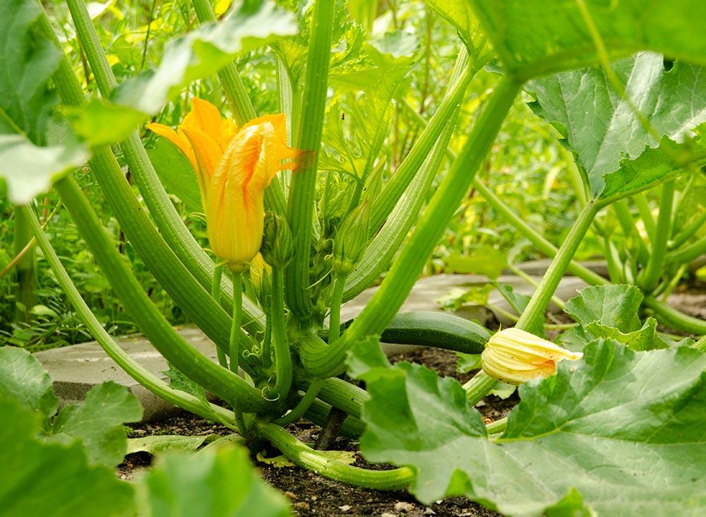 Gemüsegarten, Gemüse, Fruchfolge, Selbstversorger, Zucchini