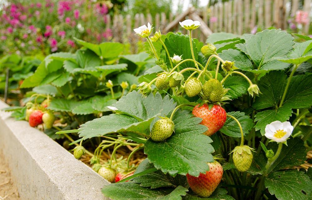 Gemüsegarten, Garten, Naschgarten, Beeren, Erdbeeren, Sommer, Beerenernte