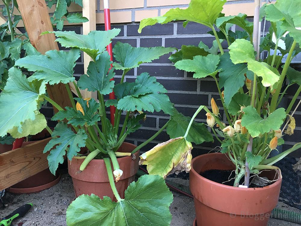 Selbstversorger, Tomate, Zucchini, Aubergine, Paprika, Pepperoni, Gewächshaus, Zucchini