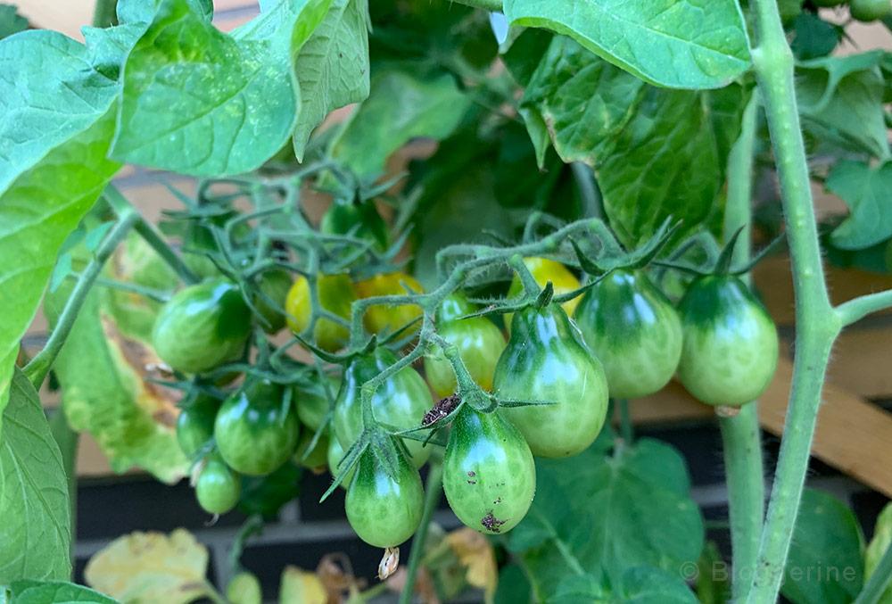 Gemüsegarten, Garten, Gemüse, Beet, Tomate, Wildtomate, Tomatenhaus