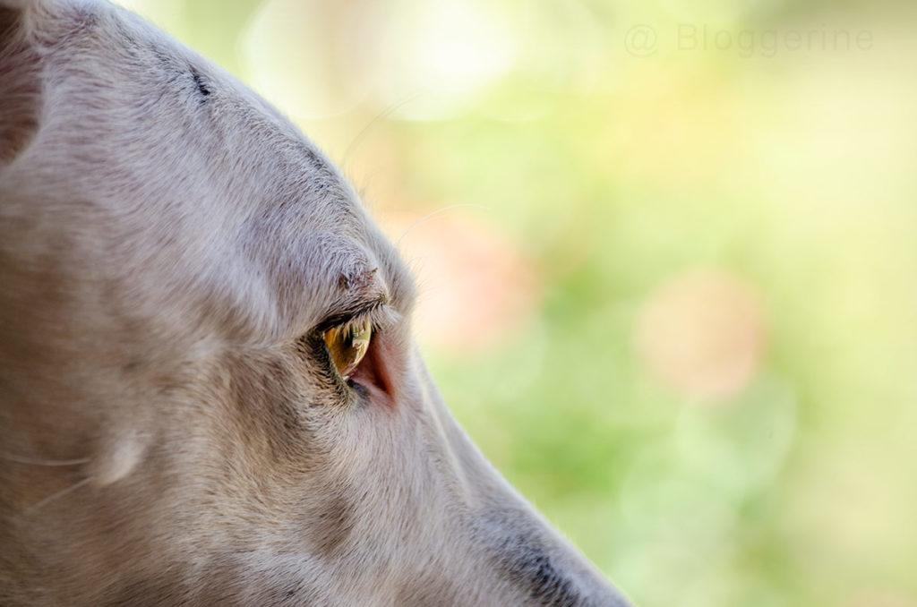 Galgo Español, Galgo, Galga, Galgo espanol, spanischer Windhund, Windhund, Sichtjäger, Hund, Pirata
