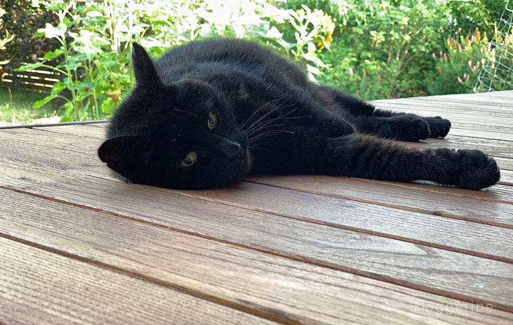 Hauskatze, Lucy, Katze, schwarze Katze