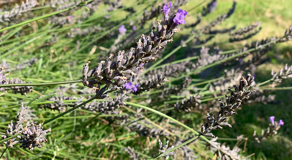 Lavendel, Lavendernte, Lavendel schneiden, Garten, Sommer, Kräuter trocknen, Lavendel trocknen