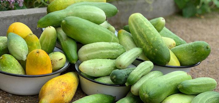 einlegen, einwecken, einkochen, konservieren, Haltung machen, einwecken, Weckglas, Einmachglas, Gurken, Einlegegurken, Gewürzgurken, Gurkenpflanze, Bio, Gurkenernte