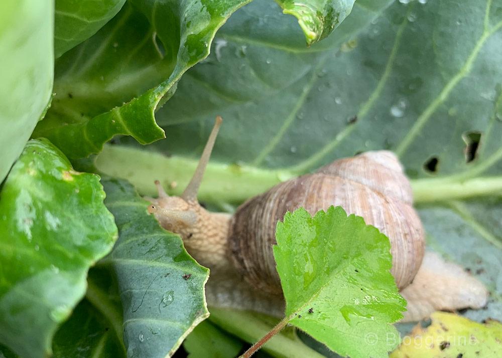 Weinbergschnecke, Schnecken, Nacktschnecke, Rote Wegschnecke, Bänderschnecken, bekämpfen, absammeln, Gemüsebeet