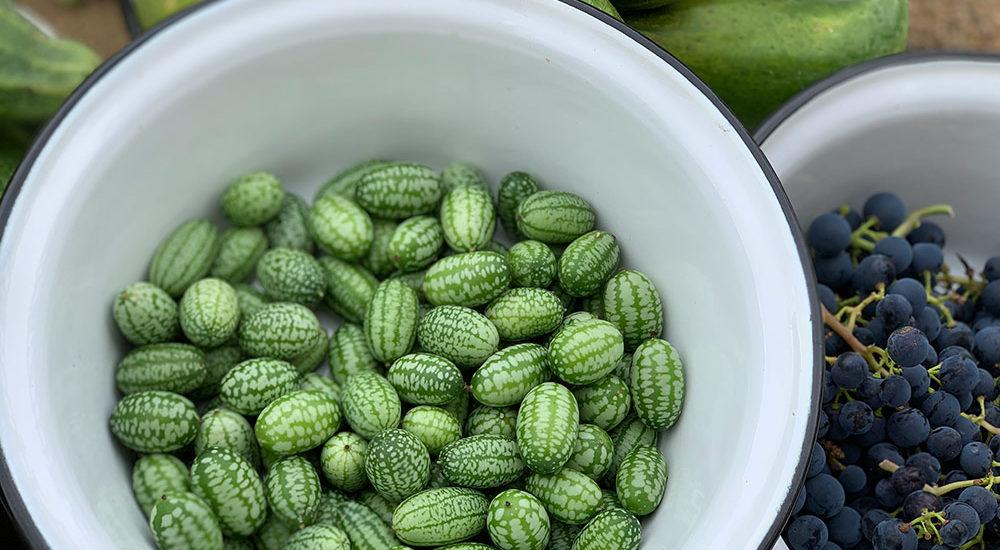 Mexikanische Minigurke, Tomten-Gurke, Gemüse, Naschgarten, Gemüsegarten, Kletterpflanze, Bauerngarten, Salat, Selbstversorger